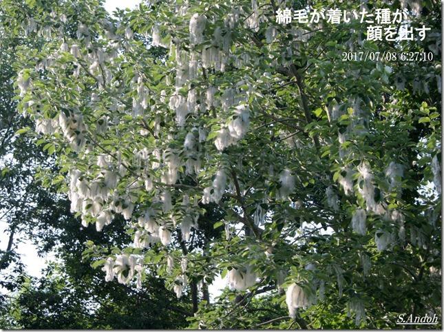 ドロヤナギ 綿毛 種子