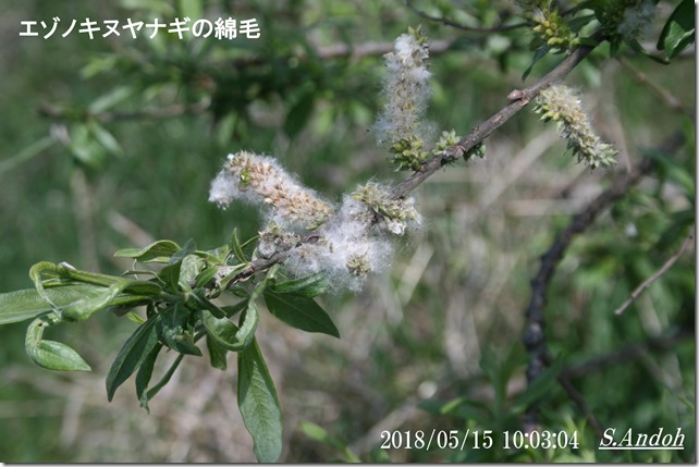 エゾノキヌヤナギ 綿毛 種子