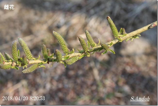 123雌花 オノエヤナギ