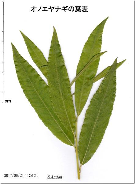 126オノエヤナギの葉表