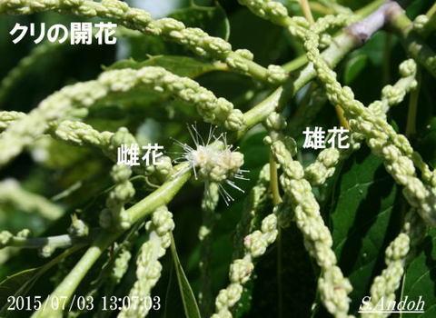 01 クリの開花.jpg