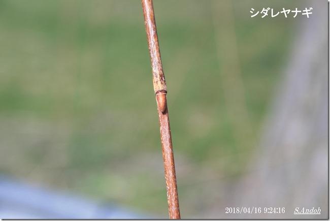 152シダレヤナギは枝