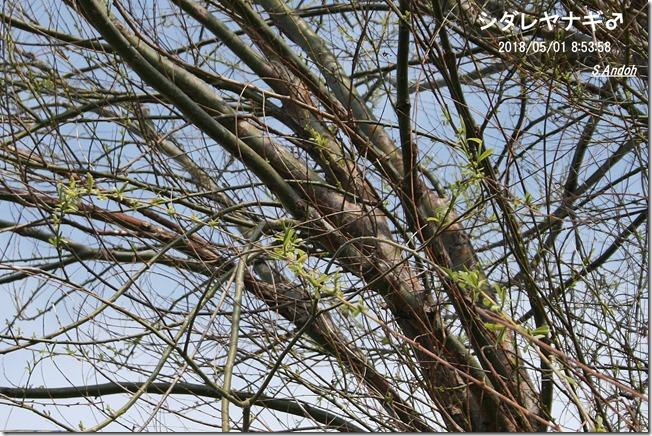 154シダレヤナギの雄の樹