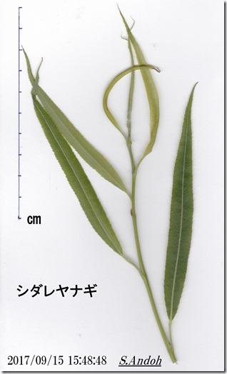 155シダレヤナギの葉