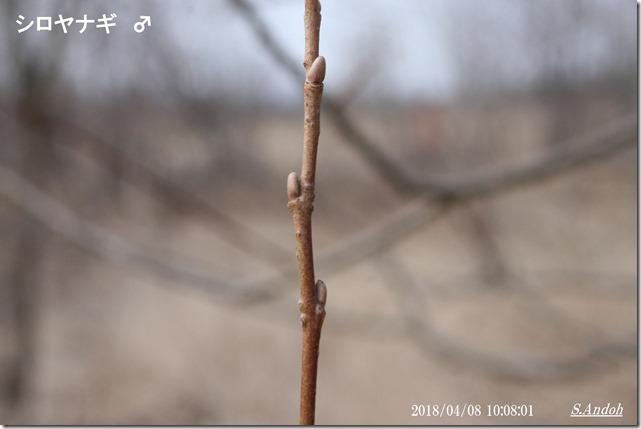 157シロヤナギ雄の冬芽