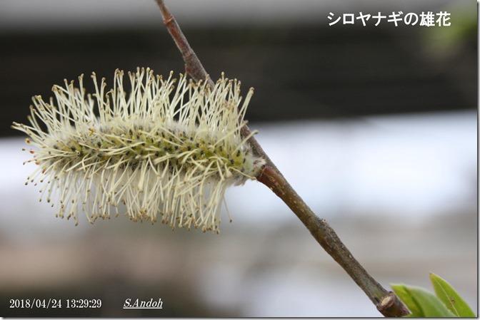 159シロヤナギの雄花