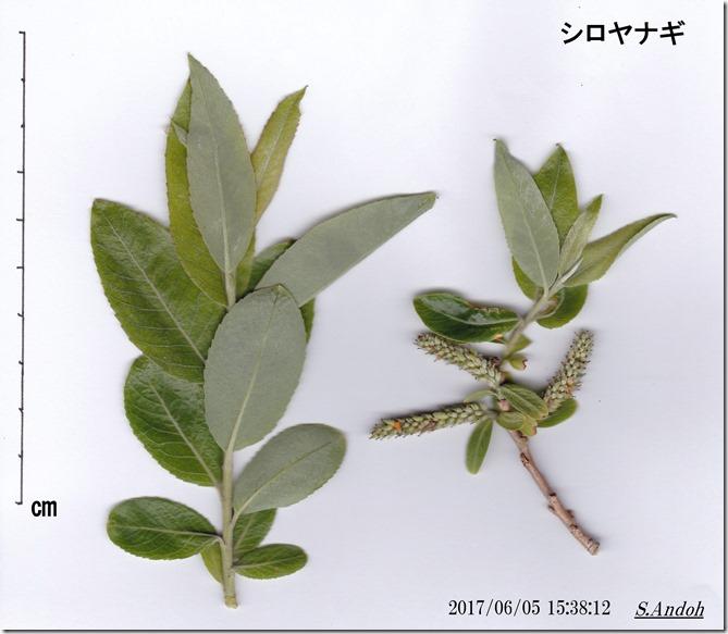 162シロヤナギの葉