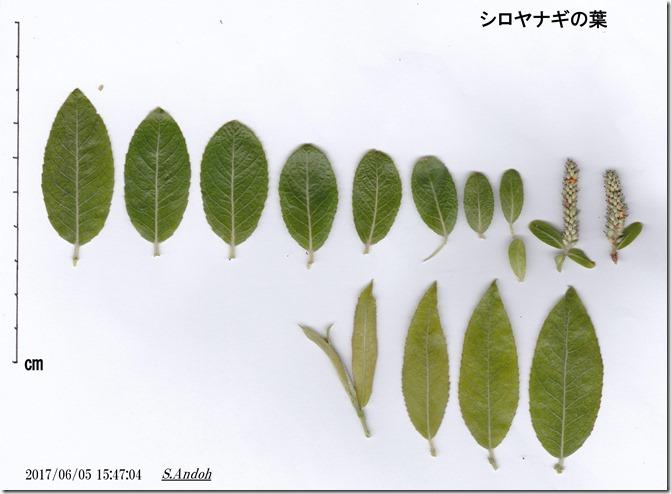 163 6月上旬のシロヤナギの葉