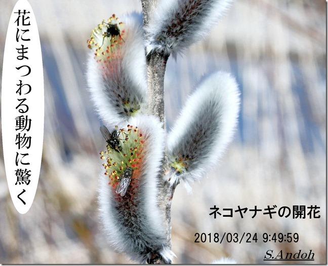 165 ネコヤナギの開花