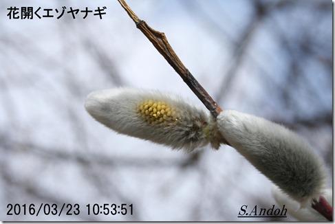 03花開くエゾヤナギ