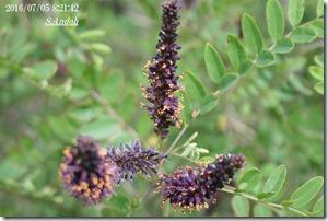 91イタチハギの開花