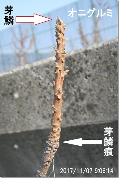 26オニグルミ芽鱗