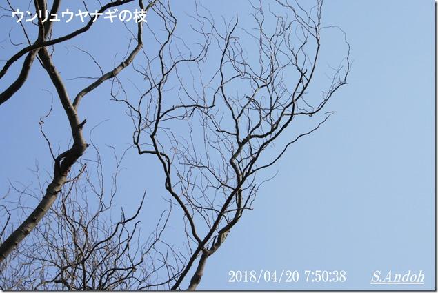 140ウンリュウヤナギの枝