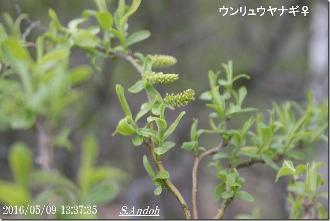 143ウンリュウヤナギの雌花