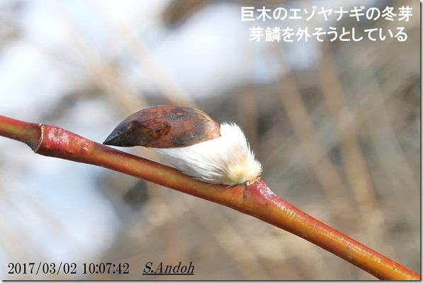 最も早く春を感じるエゾヤナギ