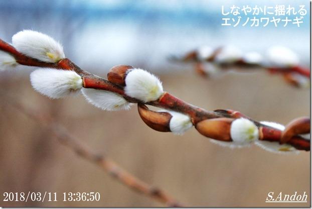 芽鱗を脱ぐ雄のエゾノカワヤナギ