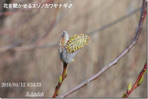 花 エゾノカワヤナギ