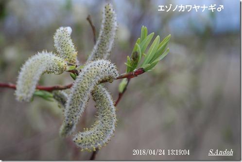 雄花 エゾノカワヤナギ