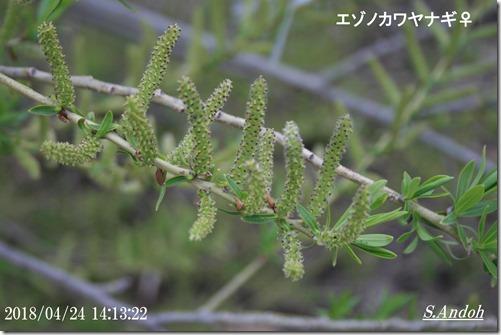 雌花 エゾノカワヤナギ