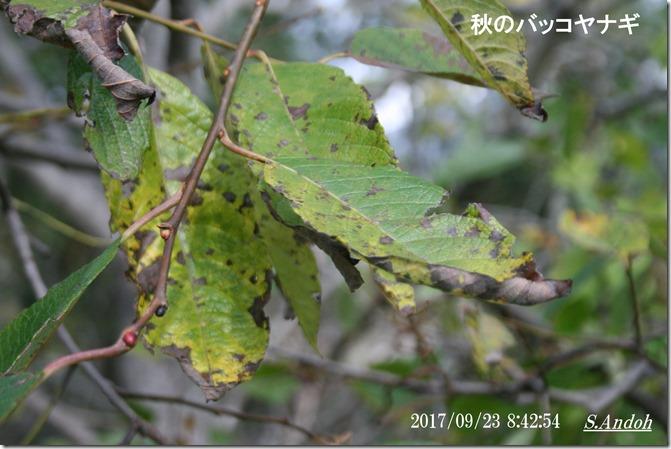 バッコヤナギの冬芽