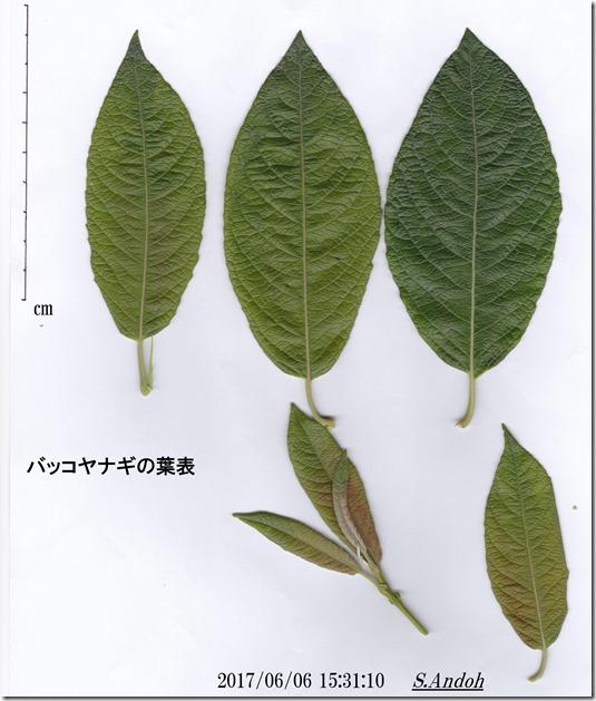 バッコヤナギの葉表