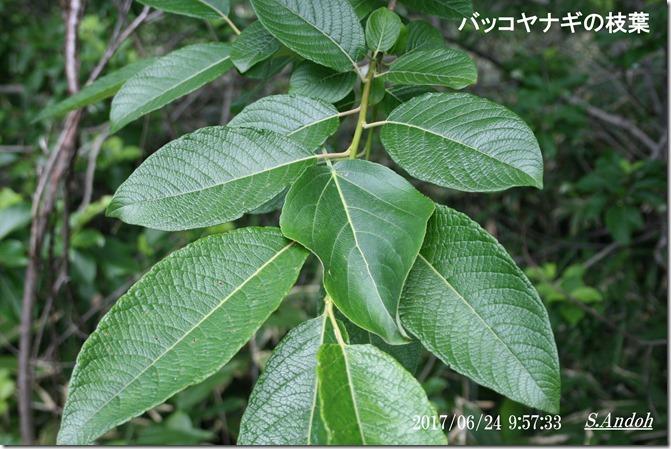 バッコヤナギの枝葉