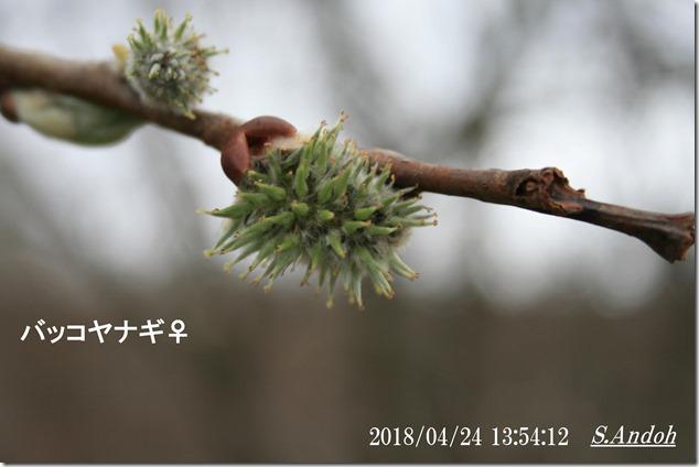 95バッコヤナギ真冬の綿毛