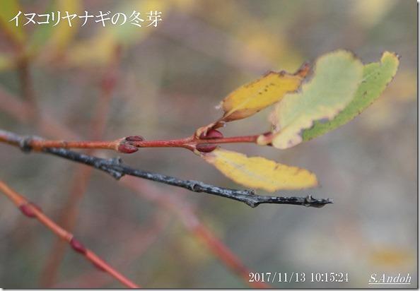 イヌコリヤナギの冬芽