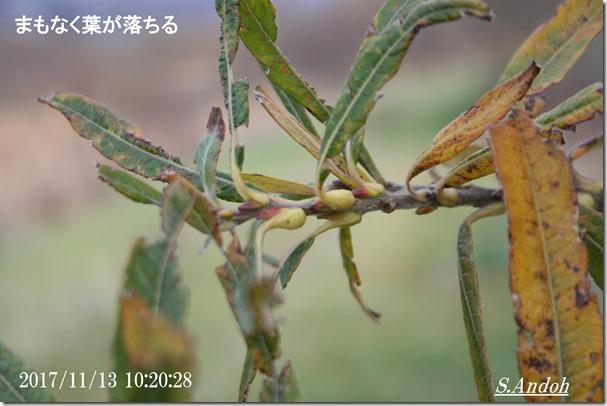 エゾノキヌヤナギの秋の茎の様子