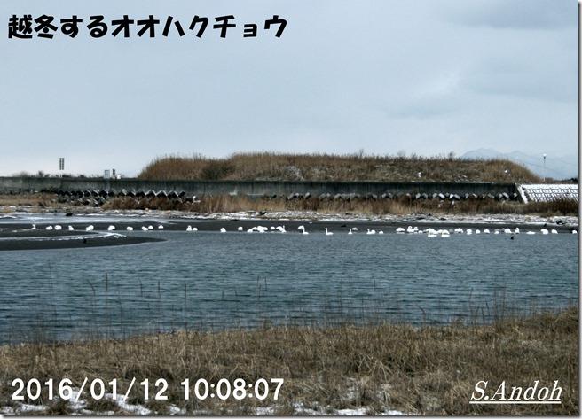 03長流川で越冬する白鳥